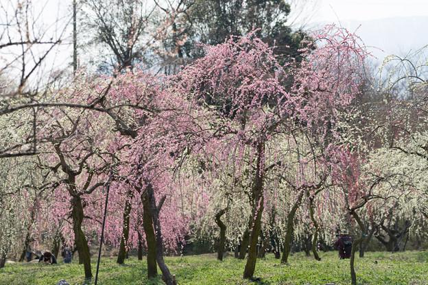 いなべ市梅林公園【満開の梅苑】6
