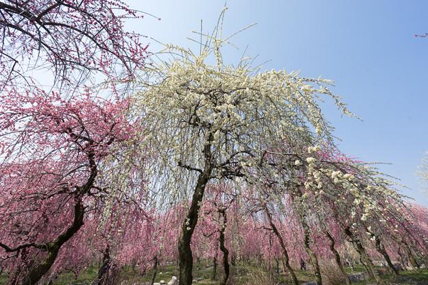 いなべ市梅林公園【満開の梅苑】7