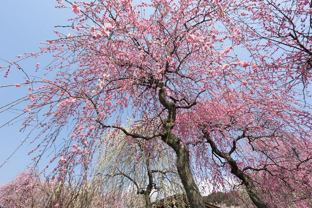 いなべ市梅林公園【満開の梅苑】8