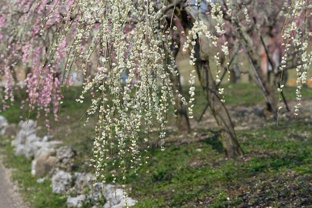 いなべ市梅林公園【満開の梅苑】11