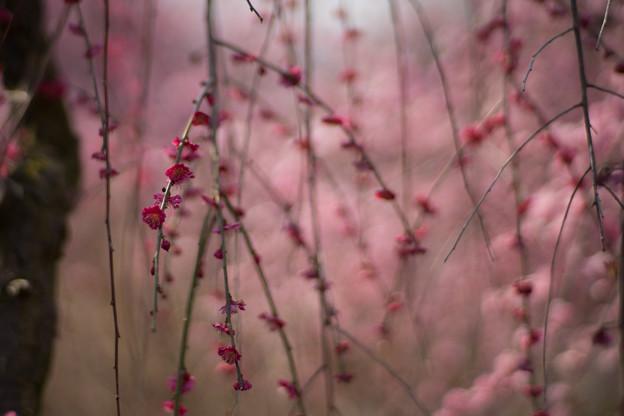 いなべ市梅林公園【満開の梅苑】15