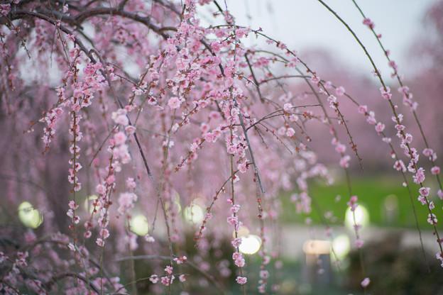 鈴鹿の森庭園【しだれ梅(ライトアップ)】7