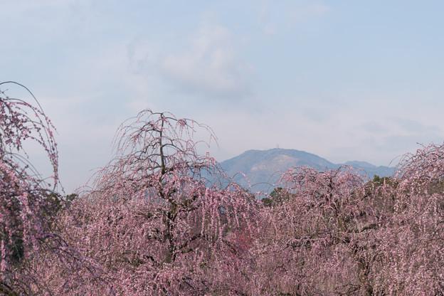 鈴鹿の森庭園【しだれ梅(早朝)】1-8