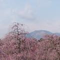 Photos: 鈴鹿の森庭園【しだれ梅(早朝)】1-8