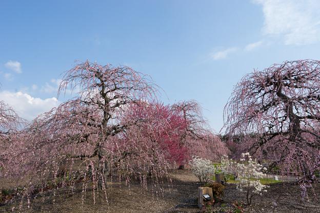 Photos: 鈴鹿の森庭園【しだれ梅(早朝)】2-1