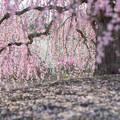 鈴鹿の森庭園【しだれ梅(早朝)】2-2