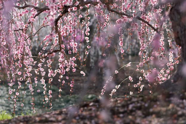 鈴鹿の森庭園【しだれ梅(早朝)】2-4