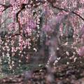 Photos: 鈴鹿の森庭園【しだれ梅(早朝)】2-4