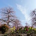 Photos: 鈴鹿の森庭園【しだれ梅(早朝)】2-5