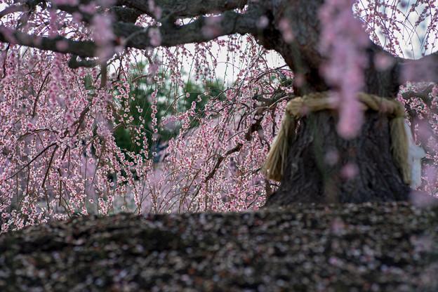 鈴鹿の森庭園【しだれ梅(早朝)】2-7
