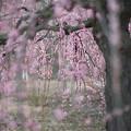 鈴鹿の森庭園【しだれ梅(早朝)】2-8