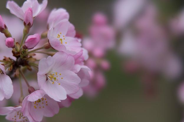 神代植物公園【桜:神代曙】7