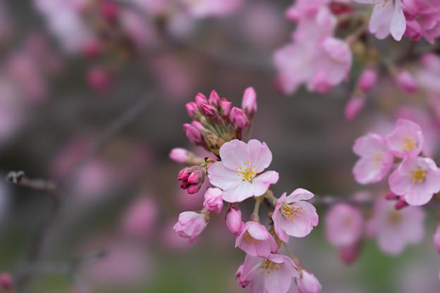 神代植物公園【桜:神代曙】9