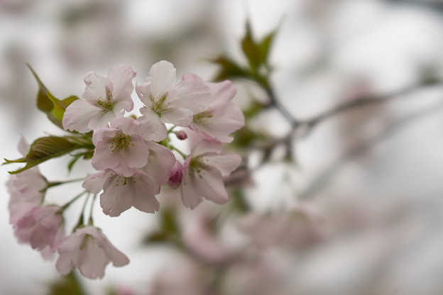 神代植物公園【桜:寒咲大島】1