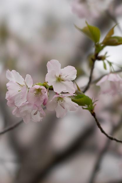 神代植物公園【桜:寒咲大島】2