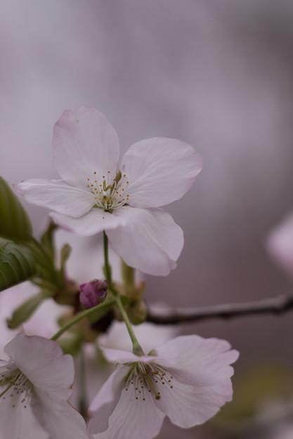 神代植物公園【桜:寒咲大島】6