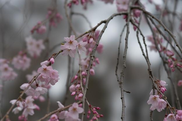 神代植物公園【桜:枝垂れ桜】2