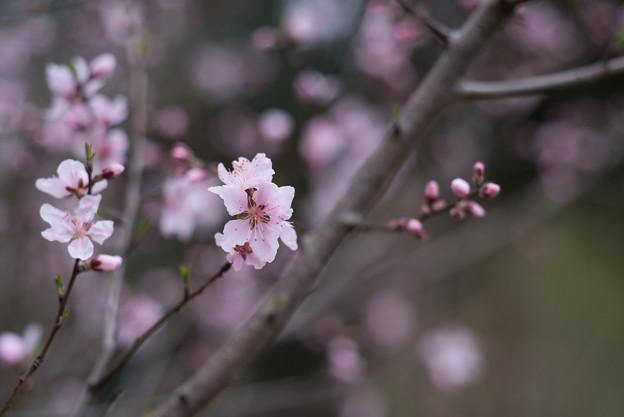 神代植物公園【アーモンド】2