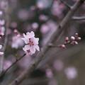 Photos: 神代植物公園【アーモンド】2