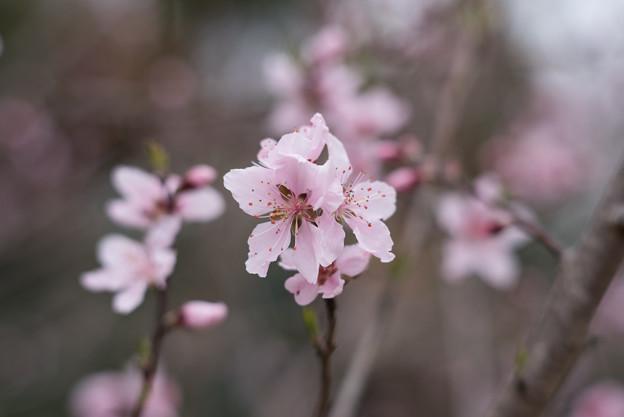 神代植物公園【アーモンド】3