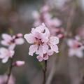 Photos: 神代植物公園【アーモンド】3