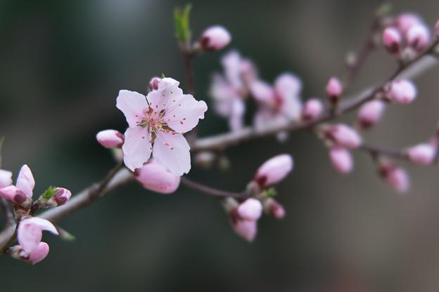 神代植物公園【アーモンド】4