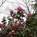 Photos: 神代植物公園【シャクナゲ(夢路)】1