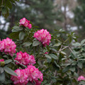 Photos: 神代植物公園【シャクナゲ(夢路)】2