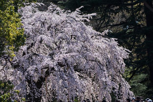 新宿御苑【サクラ:枝垂れ桜】2-3