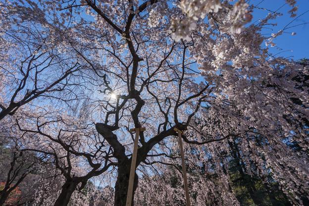 新宿御苑【サクラ:枝垂れ桜】2-5