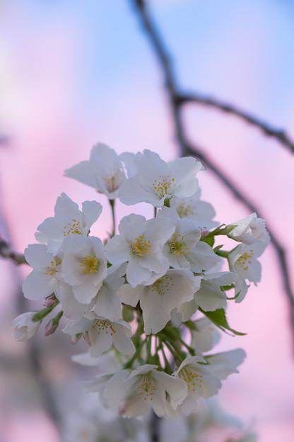 新宿御苑【サクラ:大島桜】4