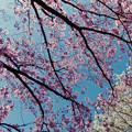 新宿御苑【サクラ:陽光】銀塩_1