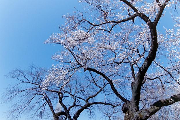 新宿御苑【サクラ:大島桜】銀塩_2