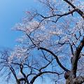 Photos: 新宿御苑【サクラ:大島桜】銀塩_2