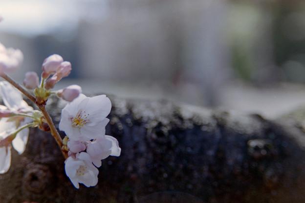 新宿御苑【サクラ:染井吉野】銀塩_4
