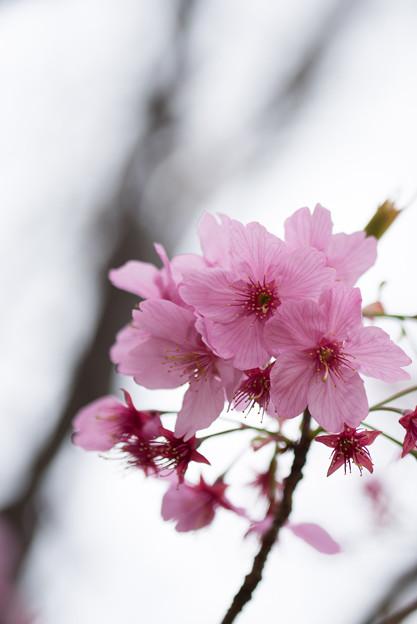 本牧山頂公園【サクラ:横浜緋桜】2