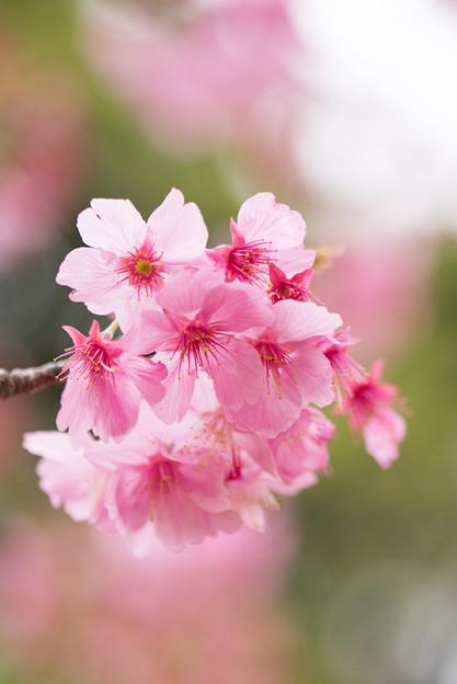本牧山頂公園【サクラ:横浜緋桜】4