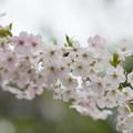 Photos: 本牧山頂公園【サクラ:山桜】2