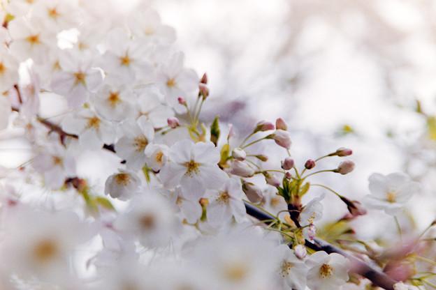 本牧山頂公園【サクラ:山桜】3銀塩