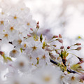 Photos: 本牧山頂公園【サクラ:山桜】3銀塩