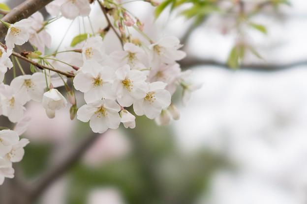 本牧山頂公園【サクラ:山桜】5