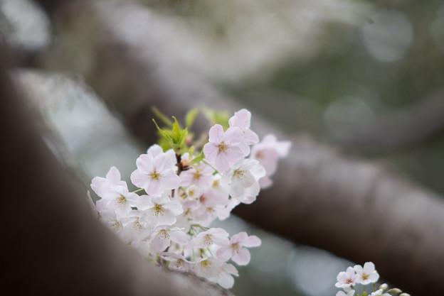 本牧山頂公園【サクラ:山桜】7