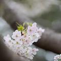 Photos: 本牧山頂公園【サクラ:山桜】7