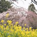 Photos: 高蔵寺【しだれ桜】3