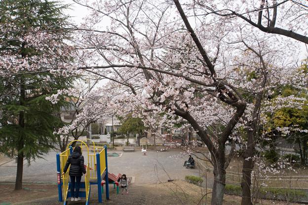 テリタビーズ公園【サクラ:染井吉野】1
