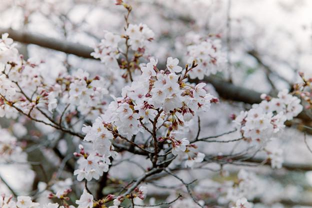 テリタビーズ公園【サクラ:染井吉野】3銀塩
