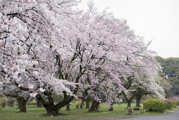 小石川植物園【染井吉野の林】03