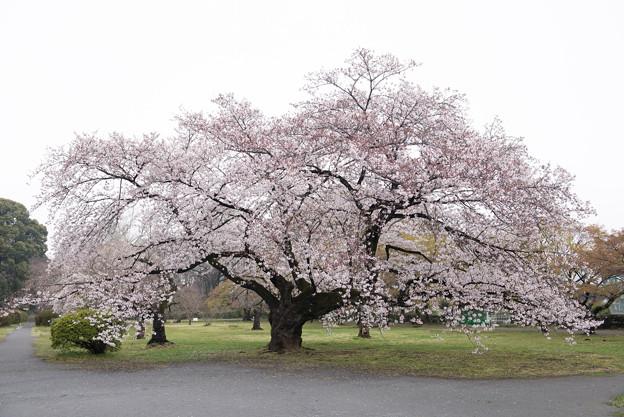 小石川植物園【染井吉野の林】04