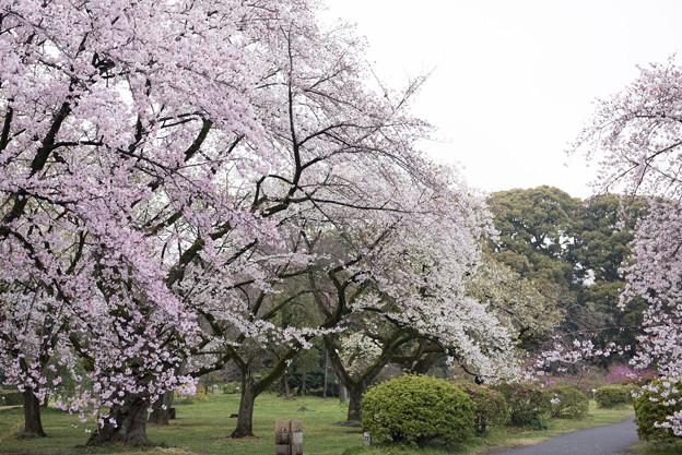 小石川植物園【染井吉野の林】05