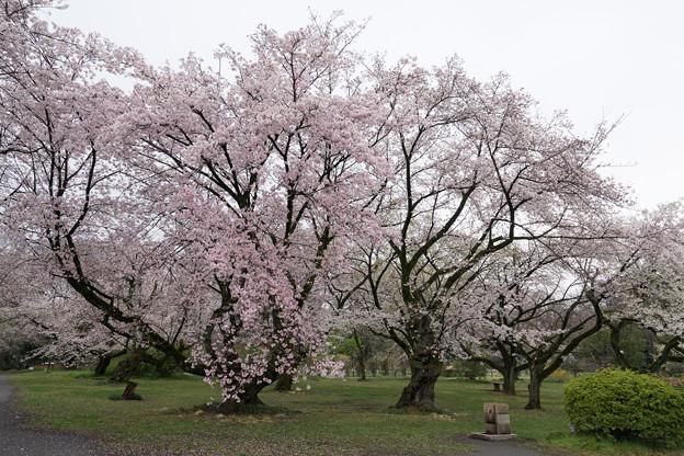小石川植物園【染井吉野の林】06